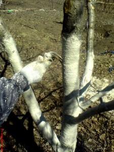 В процессе побелки вишни