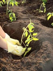 Высаживаем томаты