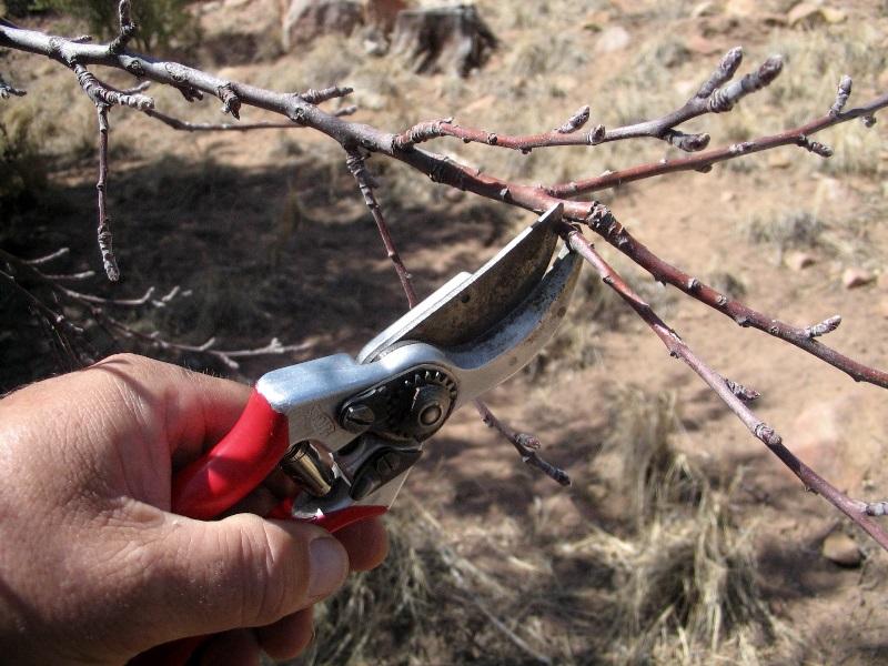 Обрезка яблонь, вишен и других плодовых деревьев ранней весной