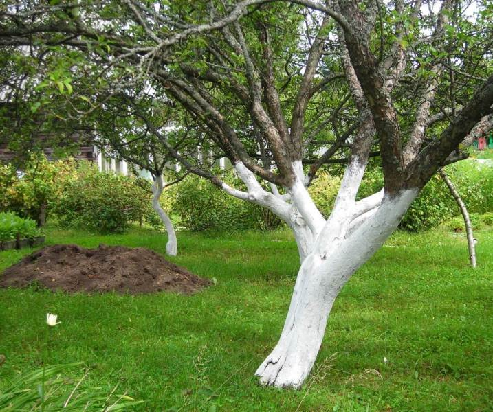Побелка плодовых деревьев