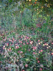 Падалица яблоки
