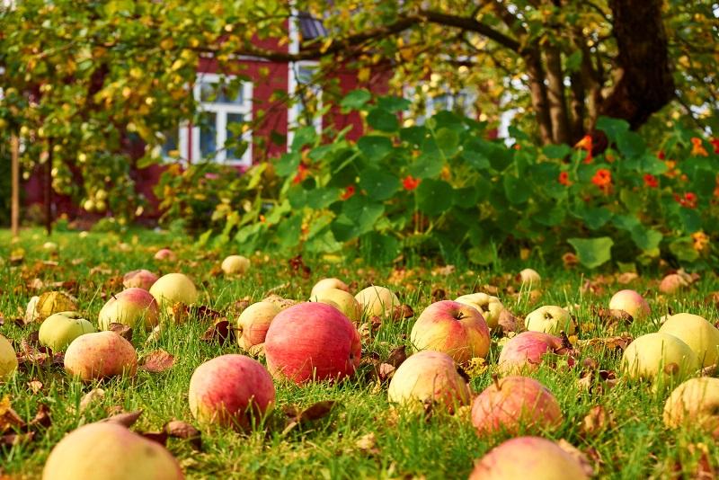 Яблоки и падалица