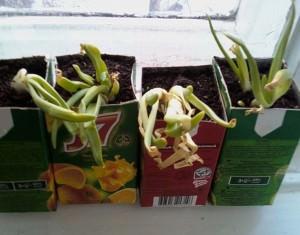 Выращивание зелени на подоконнике.