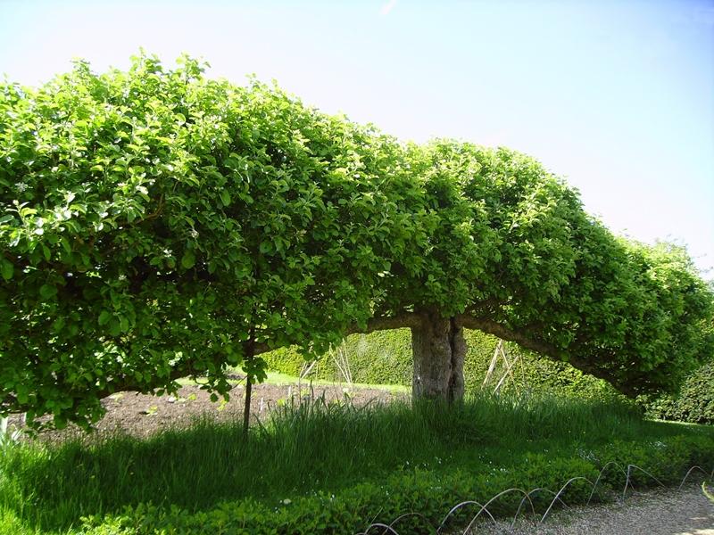 Формировка кроны плодовых загибанием
