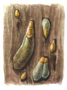 Самки щитовки