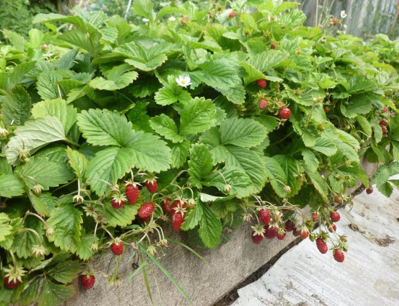 Земляника из семян - теория выращивания рассады