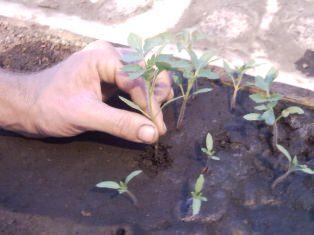 Пикировка рассады помидоров