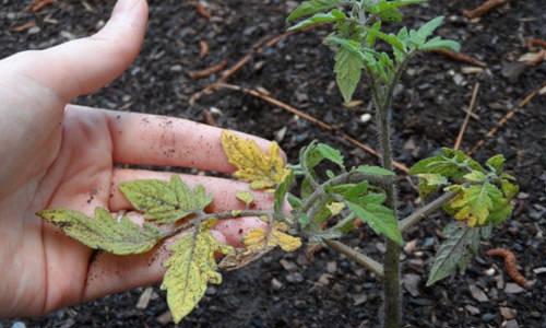 Почему у помидоров желтеют листья, и что делать для устранения проблемы