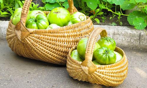 В поисках самых вкусных сортов зеленых помидоров