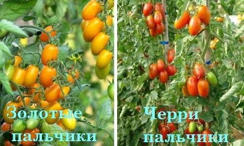 """Сорта томатов """"Золотые пальчики"""" и """"Черри пальчики"""""""