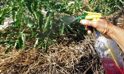 Обработка растений химическими средствами для лечения фитофтороза