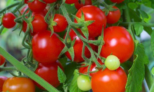 Томат сорта Красным Красно: вкусный и урожайный