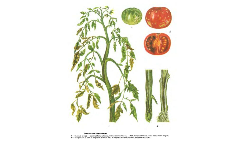 У томатов скручиваются листья: почему так происходит и что делать
