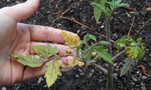 Рассада помидоров желтеет и сохнет: почему так происходит и что делать?
