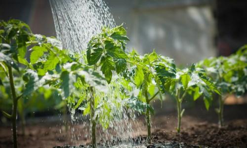 Полив помидоров в теплице: технология, частота и способы