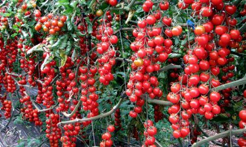 томаты сорта Рапунцель