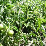 Почему у помидоров скручиваются листья в теплице