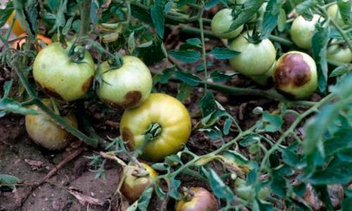 Технология посадки помидоров в открытый грунт и уход за ними