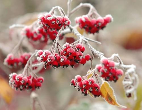 В ноябре можно высаживать лекарственные растения: боярышник, рябину
