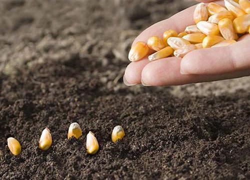 В начале месяца вы можете посадить растения с коротким периодом вегетации