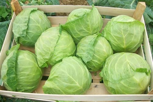В начале августа время собирать капусту