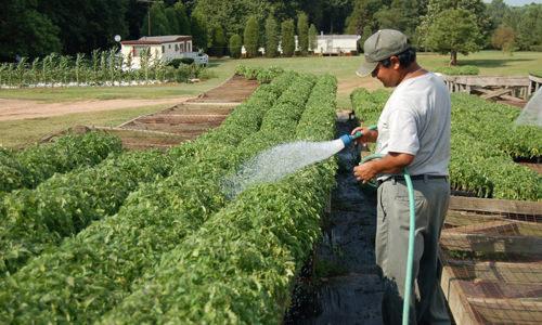 Эффективная подкормка помидоров дрожжами: отзывы и советы