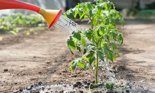 Факторы высокой урожайности: на каком расстоянии сажать помидоры в теплице