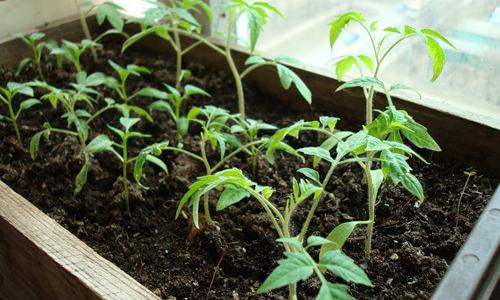 Почему плохо растет рассада помидоров, и что делать в этом случае?