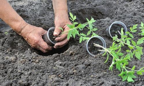 Собственная рассада помидоров: как ее вырастить?