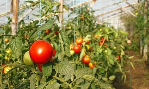 Українські виробники томатів інвестують у теплиці та нові сорти