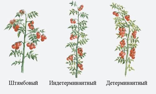 Выращивание помидоров в теплице: секреты посадки и ухода