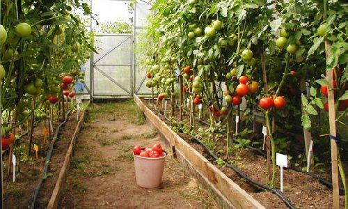 Ежегодная посадка помидоров в теплицу: подробная инструкция