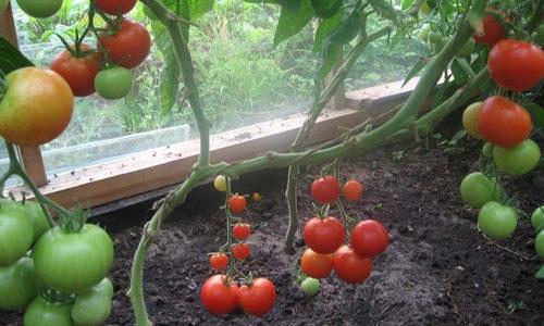 Рассада домашних помидоров: как выращивать, когда сеять и чем удобрять?