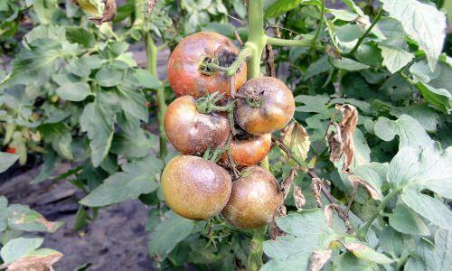 Почему у помидоров фиолетовые листья