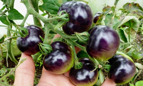 Фиолетовые помидоры Чероки