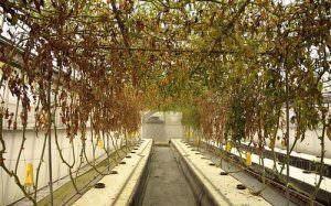 Почему возникает фузариозное увядание томатов и каково лечение заболевания?