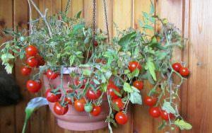 пошаговое выращивание помидоров на балконе