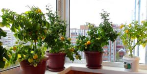 Пошаговое выращивание томатов на балконе: секреты посадки и ухода
