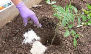 Чем подкормить подрастающие томаты после высадки в грунт