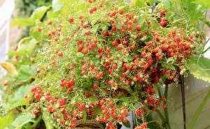 Выращивание помидоров черри в теплице и на открытом грунте