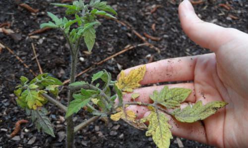 Из-за чего у помидоров желтеет нижний лист: причины и помощь