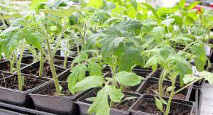 Сроки и правила посадки помидоров на рассаду в 2018 году