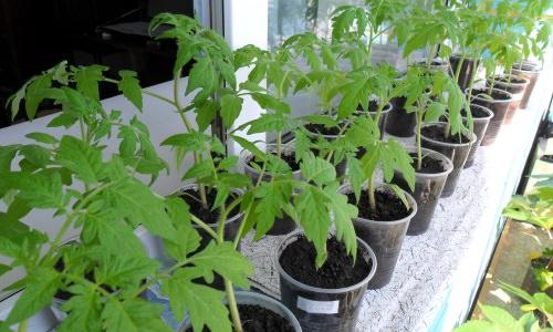Чем можно подкормить рассаду помидоров, чтобы они были толстенькими, крепкими и сочными?