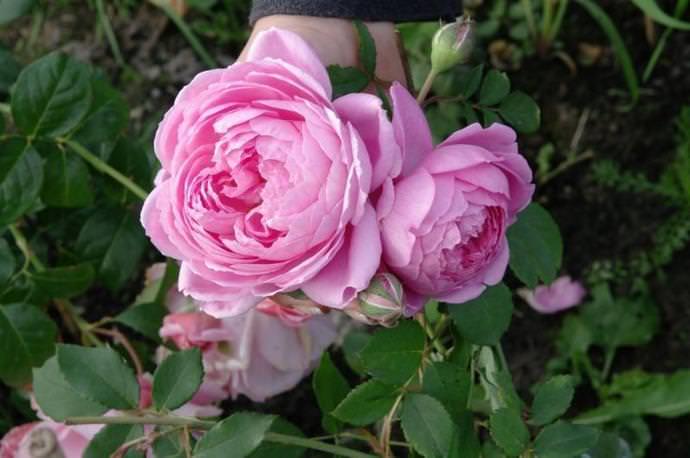 Роза Аленушка: красивый, устойчивый и надежный сорт