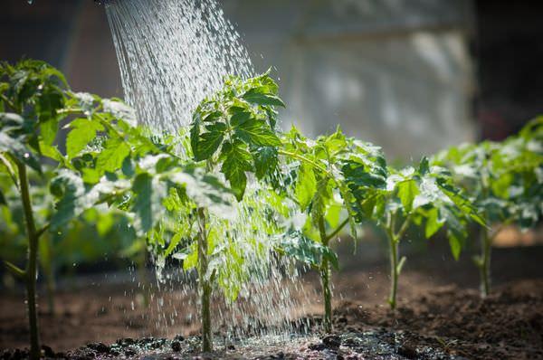 Чем полить рассаду томатов и как ее подкормить, чтобы лучше росла