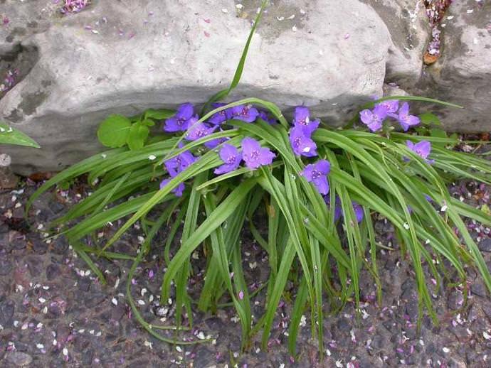 Садовая традесканция: характеристика лучших сортов и правила выращивания