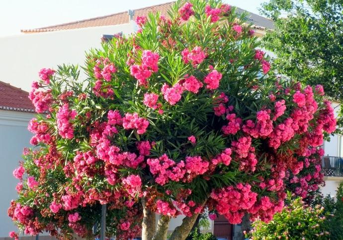 Олеандр в саду: как вырастить роскошное растение