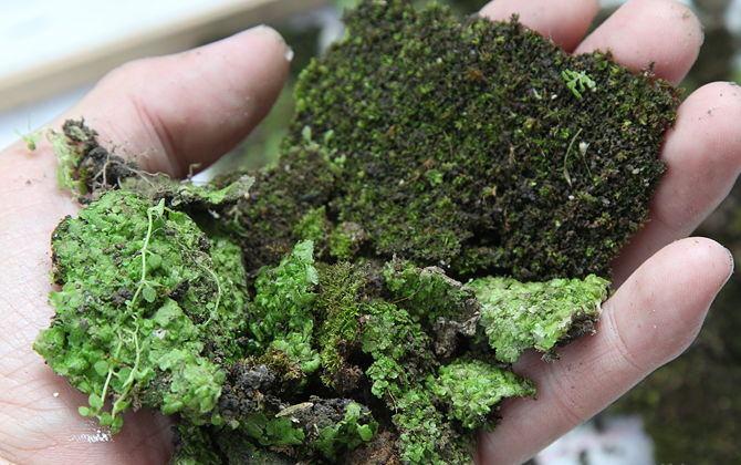 Счищать мшистые заросли следует с помощью специальных щёток и перчаток, собирая остатки растения в вёдра или контейнеры