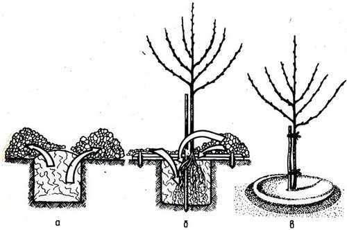 Яблоня Мельба: сортовое описание, правила посадки и ухода