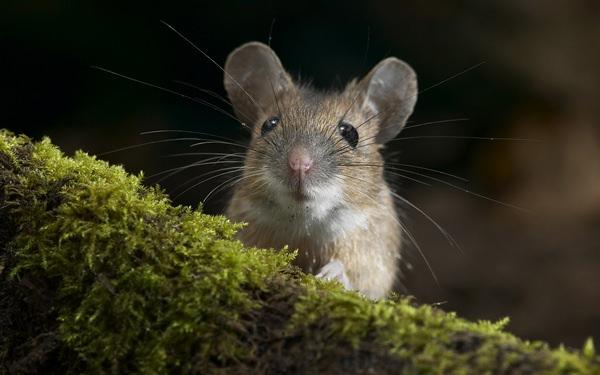 Как избавиться от мышей навсегда: гуманные и радикальные методы